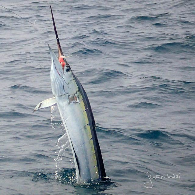 fly-fishing-rompin-sailfish-dron_150823_2001-640