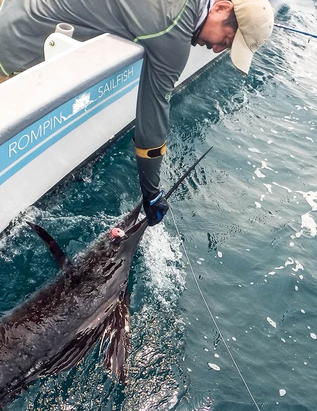 fly-fishing-rompin-sailfish_150823_1598