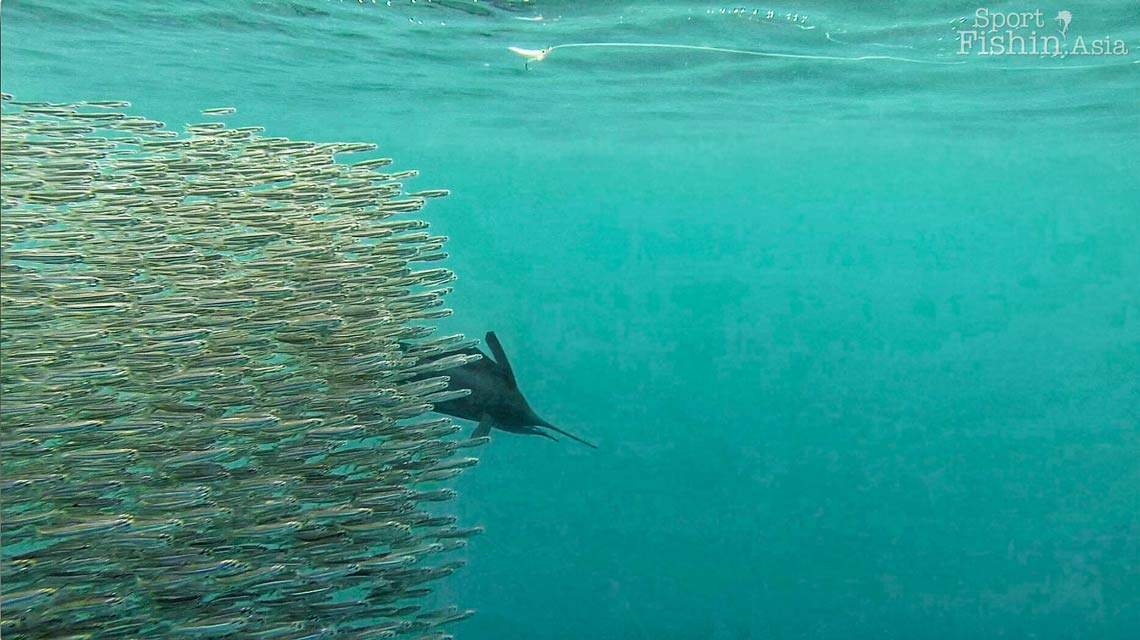 rompin-sailfish-baitfish-underwater-20151226-8