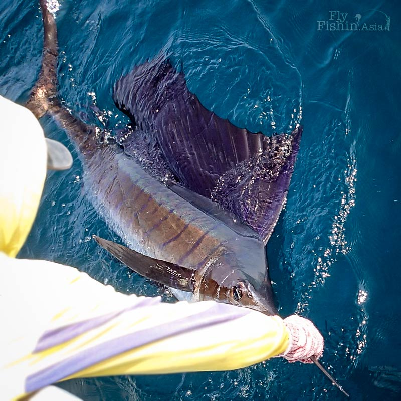 sailfish-fly-fishing-rompin-doc_151008_7110