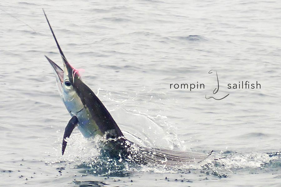 sailfish-fly-fishing-rompin_151020_7533