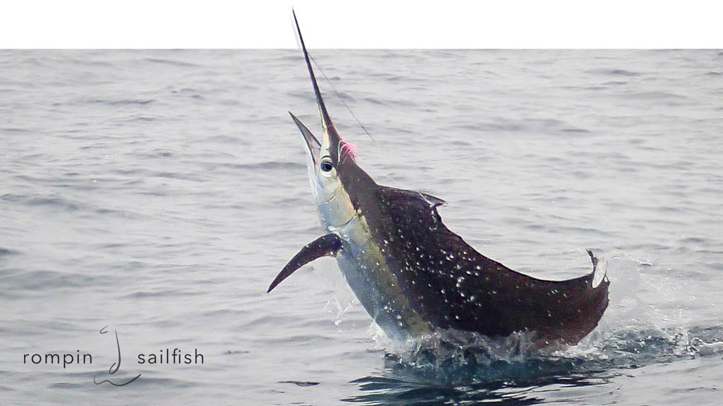 sailfish-fly-fishing-rompin_151020_7534b