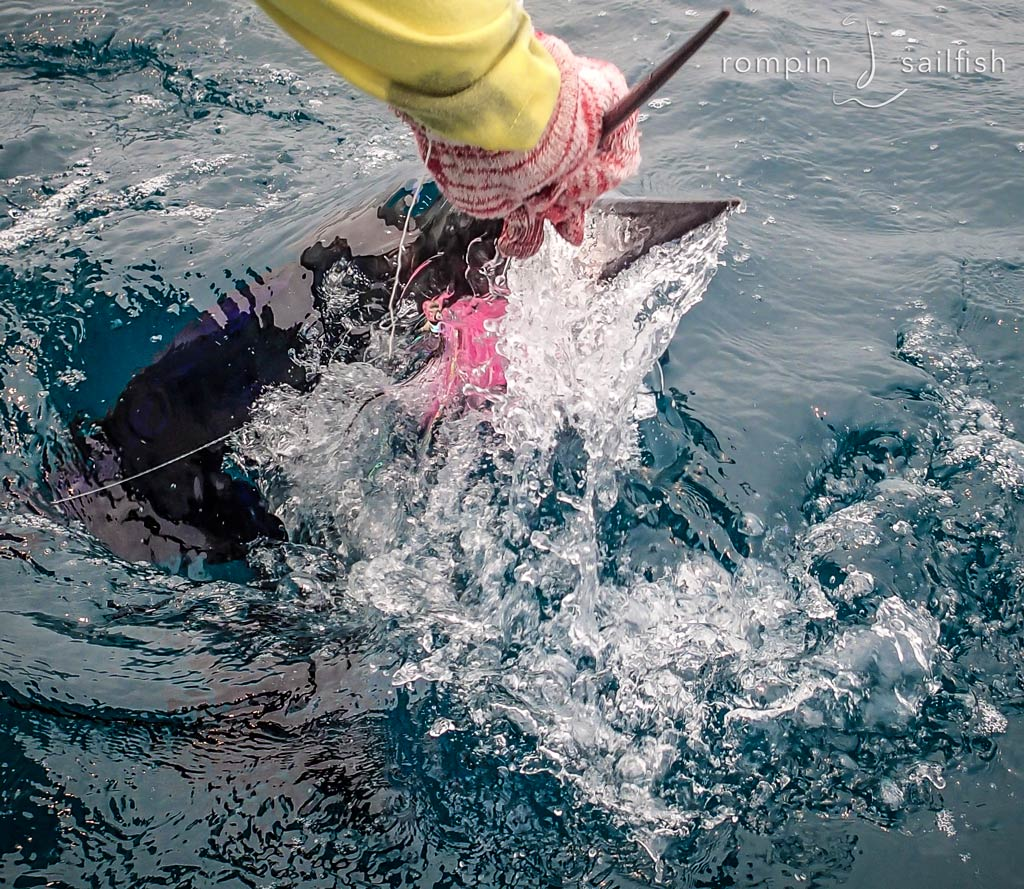 sailfish-fly-fishing-rompin_151020_7582