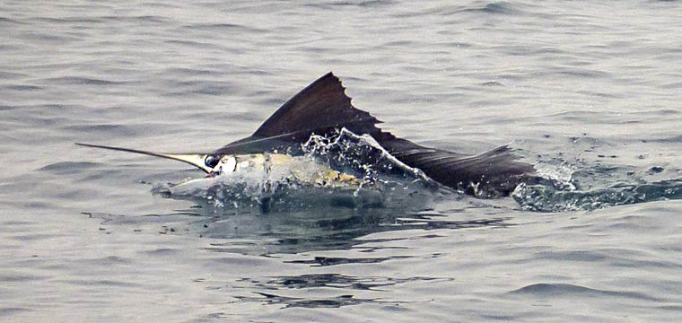sailfish-rompin-scott-20150919-(44)_760