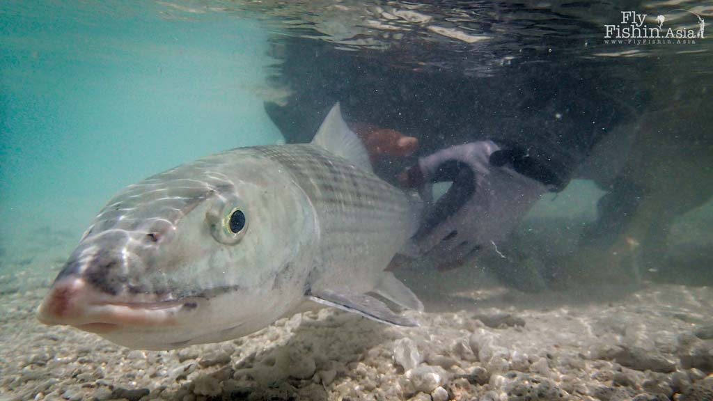 Maldives bonefish underwater shot