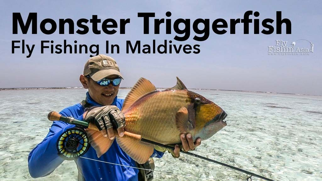 Monster Titan Triggerfish in Maldives