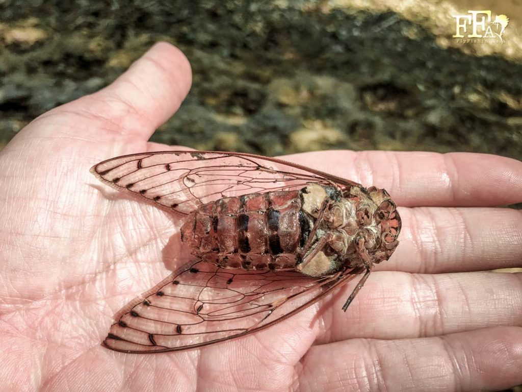 The underside of the cicada exoskeleton