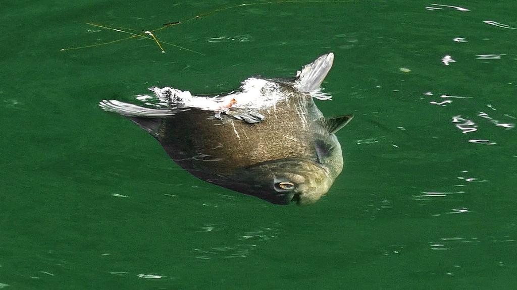 half-eaten pacu fish